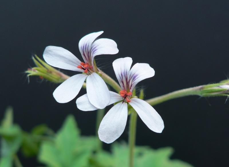 Pelargonium quinquelobatum 2. Credit: Chris Stevenson.