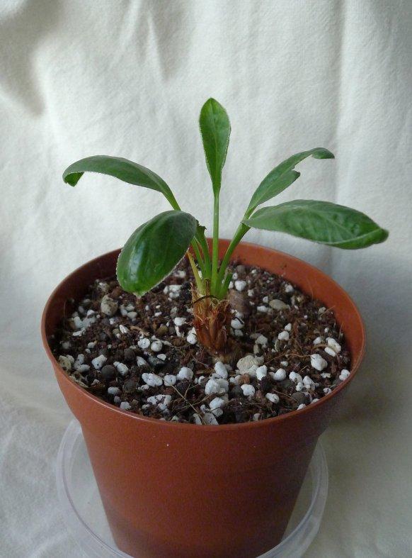 Pelargonium radicatum 1. Credit: Vered Adolfsson Mann.