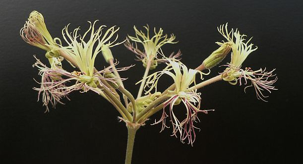 Pelargonium schizopetalum 2. Credit: Chris Stevenson.