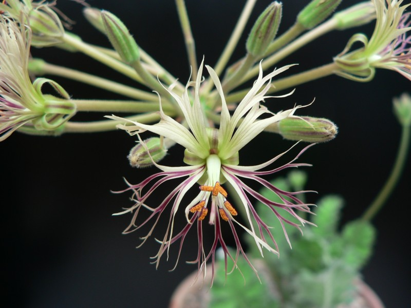 Pelargonium schizopetalum 1. Credit: Chris Stevenson.