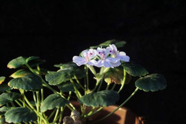 Pelargonium sibthorpiifolium 2. Credit: Jean-Pierre Trivi.