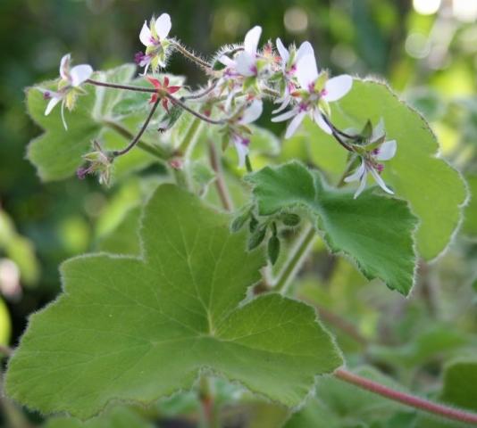 Pelargonium tomentosum 1. Credit: Anita Schweig-Bourg.