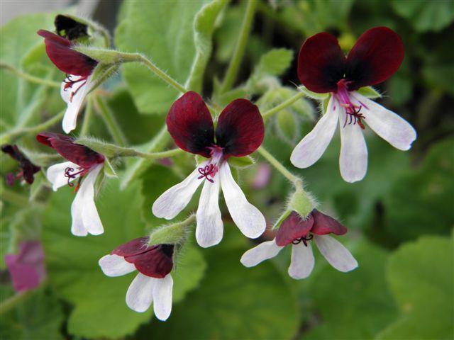 P. tomentosum x P. tricolor 'Islington Peppermint' 1. Credit: Petr Reichelt.