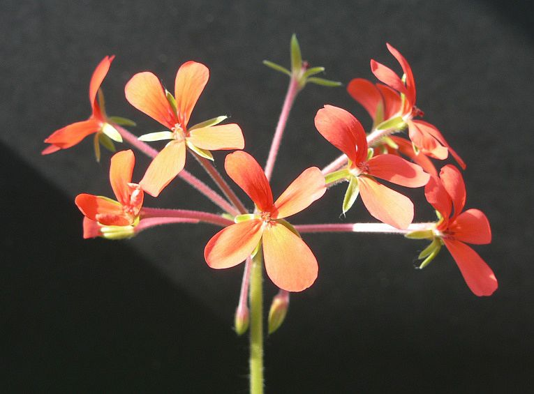 Pelargonium tongaense 1. Credit: Chris Stevenson.