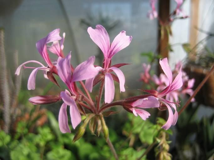 Pelargonium transvaalense 2. Credit: Peter J. Liekkio.