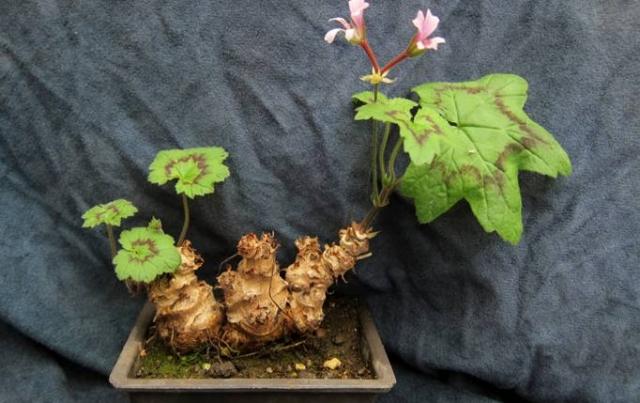 Pelargonium transvaalense 3. Credit: Peter J. Liekkio.