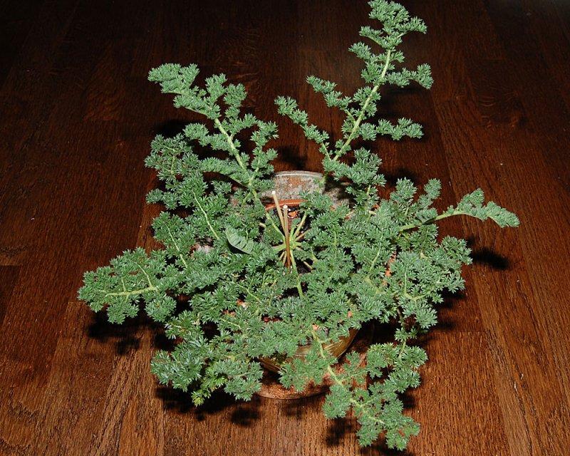 Pelargonium triste 1. Credit: Katya Kotskaya.