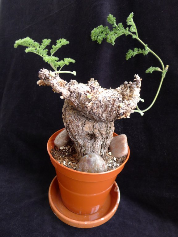 Pelargonium triste 2. Credit: Vered Adolfsson Mann.