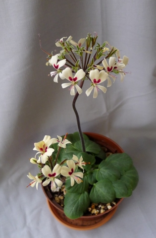 Pelargonium vinaceum 2. Credit: Vered Adolfsson Mann.