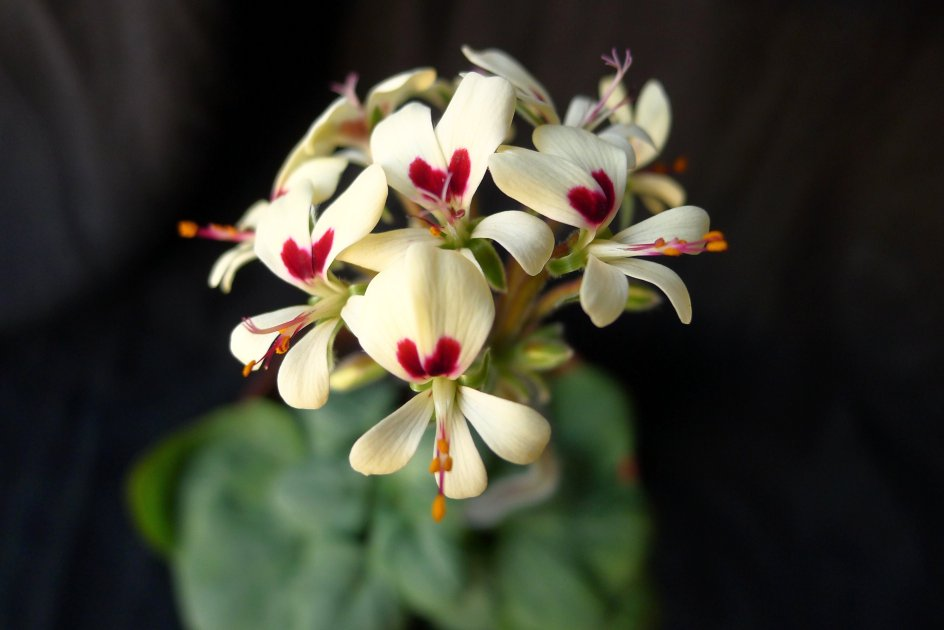 Pelargonium vinaceum 1. Credit: Vered Adolfsson Mann.