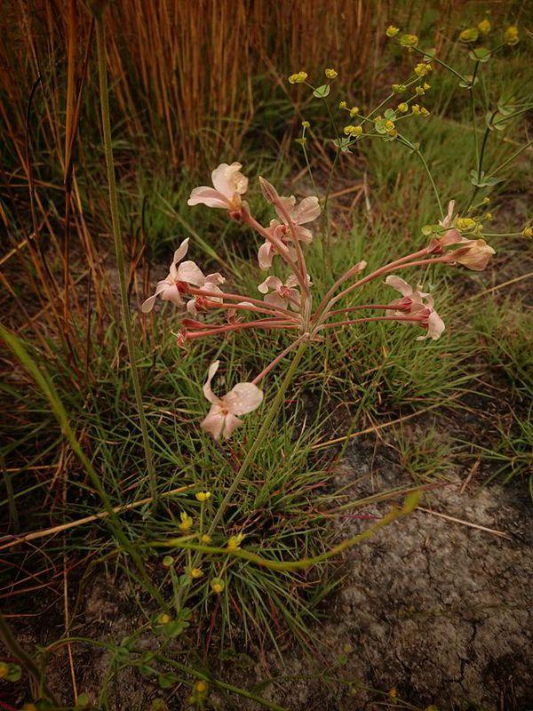 Pelargonium luridum 2. Credit: Matt Prinsloo.