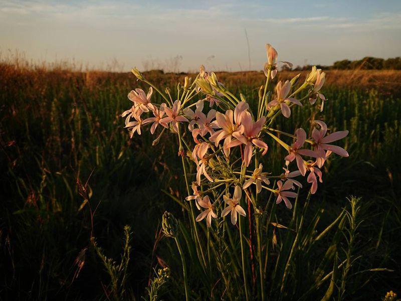 Pelargonium luridum 3. Credit: Matt Prinsloo.