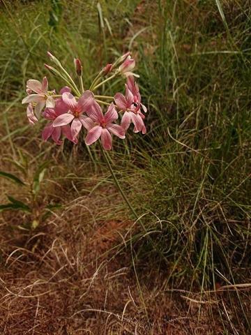 Pelargonium luridum 1, Suikerbosrand Nature Reserve, RSA. Credit: Matt Prinsloo.