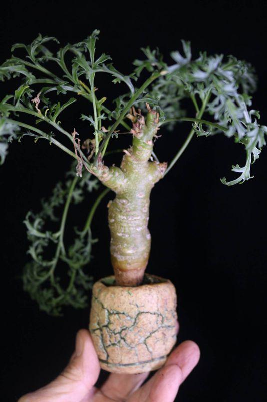 Pelargonium parviflorum MV6822. Credit: Pete Liekkio.