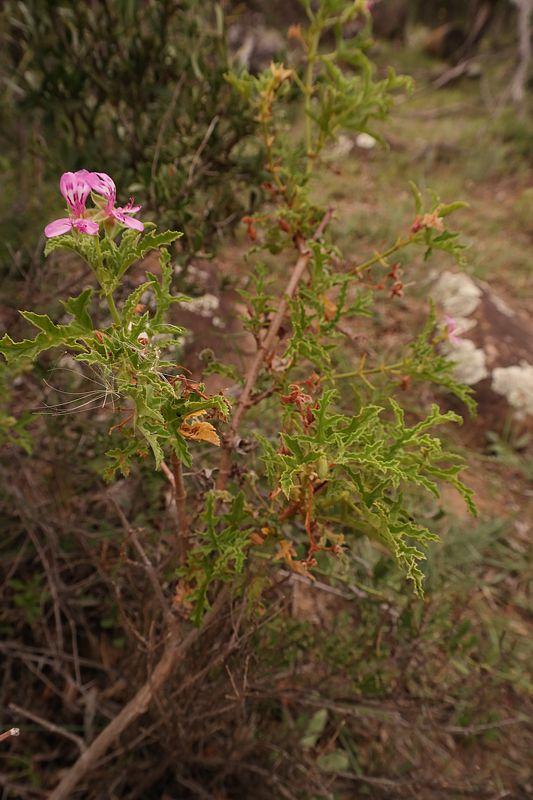 Pelargonium quercifolium 3, Sneeuberg, RSA. Credit: Nick Helme.