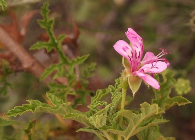 Pelargonium quercifolium 4, Sneeuberg, RSA. Credit: Nick Helme.