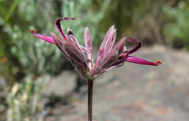 Pelargonium asarifolium 1, Piketberg. Credit: Jan Movitz.