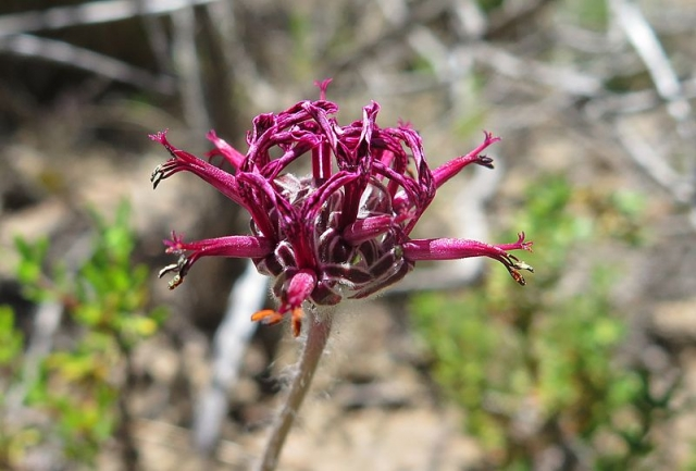 Pelargonium asarifolium 2, Piketberg. Credit: Jan Movitz.