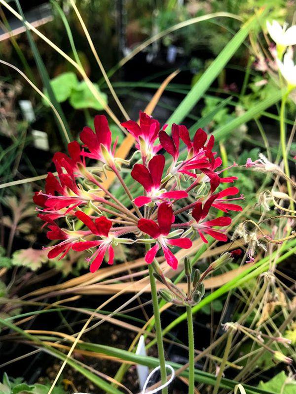 P. auritum v auritum x P. incrassatum 2. Credit Ernie DeMarie