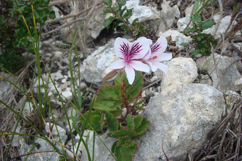 Pelargonium betulinum 1, Cap Agulhas, RSA. Credit: Jan Movitz.