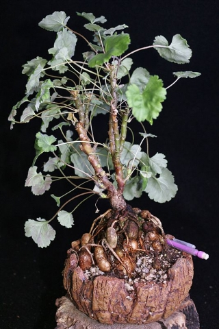 Pelargonium sp. FKH 16881. Credit: Pete Liekkio.