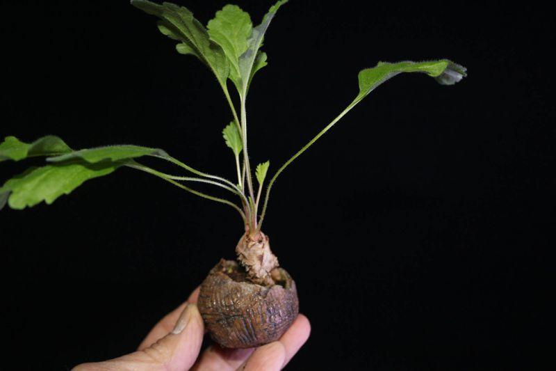 Pelargonium aciculatum. Credit: Pete Liekkio.