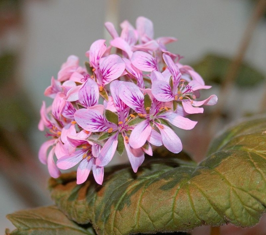 Pelargonium drummondii 1. Credit: Victoria Speight.