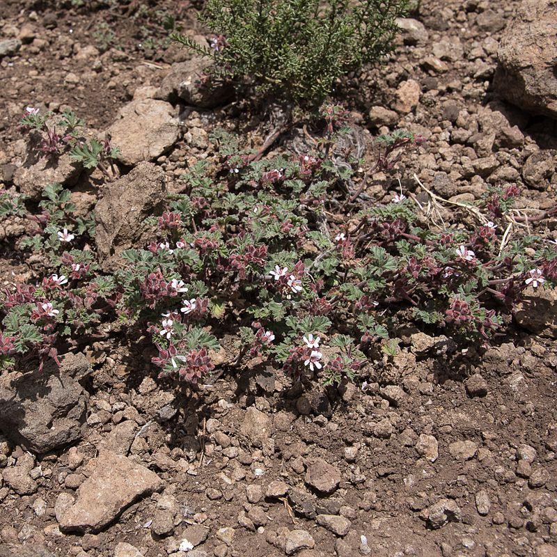 Pelargonium leucophyllum 5, Tenahead area, EC, RSA, Credit: Brendan Cole.
