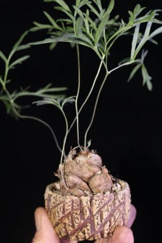 Pelargonium luteolum. Credit: Pete Liekkio.