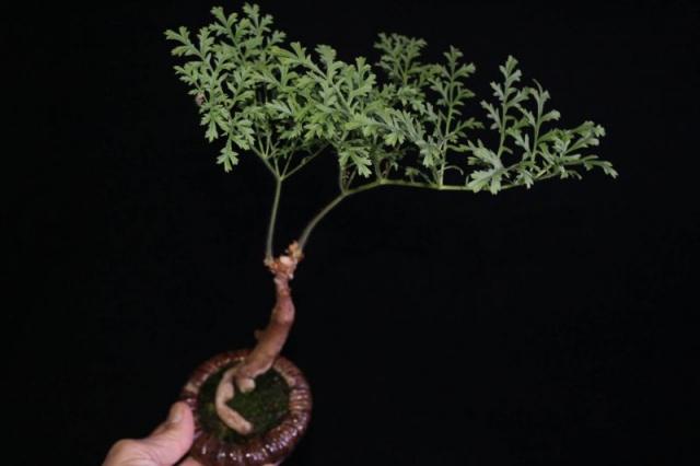 Pelargonium multiradiatum. Credit: Pete Liekkio.