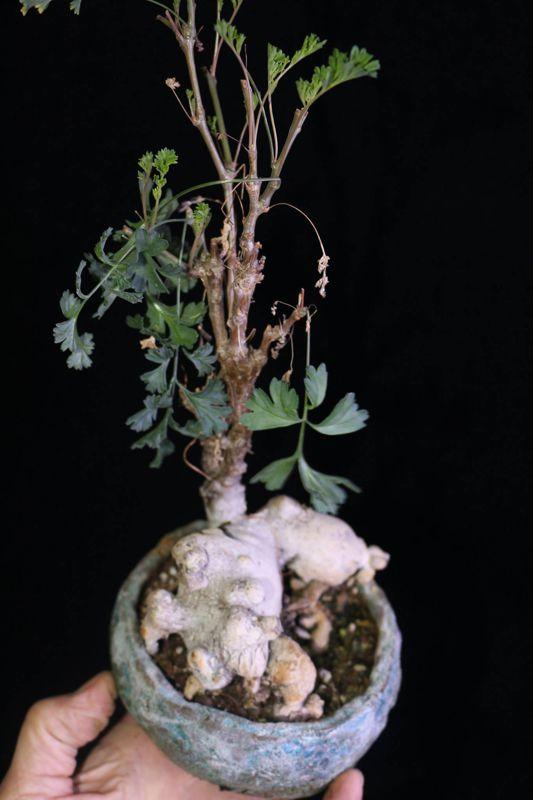 Pelargonium occultum. Credit: Pete Liekkio.