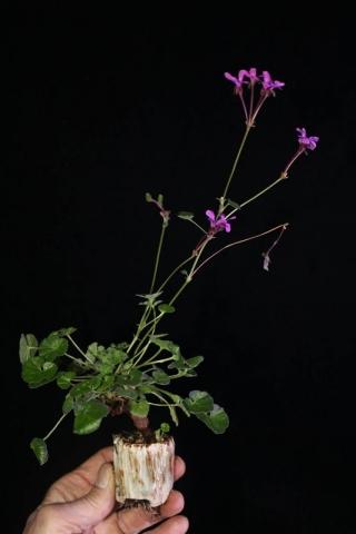 Pelargonium reniforme. Credit: Pete Liekkio.