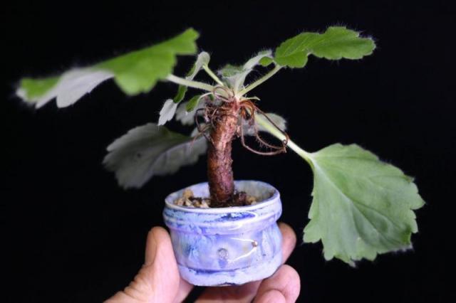 Pelargonium triandrum. Credit: Pete Liekkio.