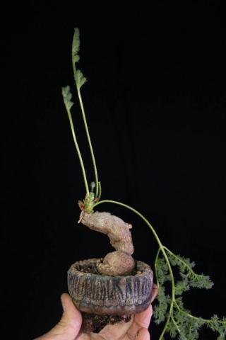 Pelargonium triste. Credit: Pete Liekkio.