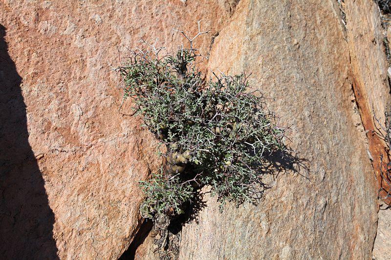 Pelargonium crithmifolium 6, N Eksteenfontein. Credit: Matija Strlic.