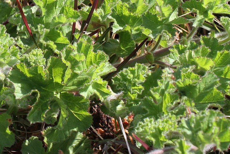 Pelargonium capitatum 4, Kenilworth. Credit: Matija Strlic.
