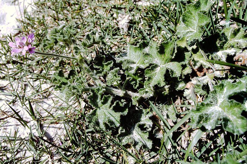 Pelargonium capitatum 2, Llandudno. Credit: Matija Strlic.