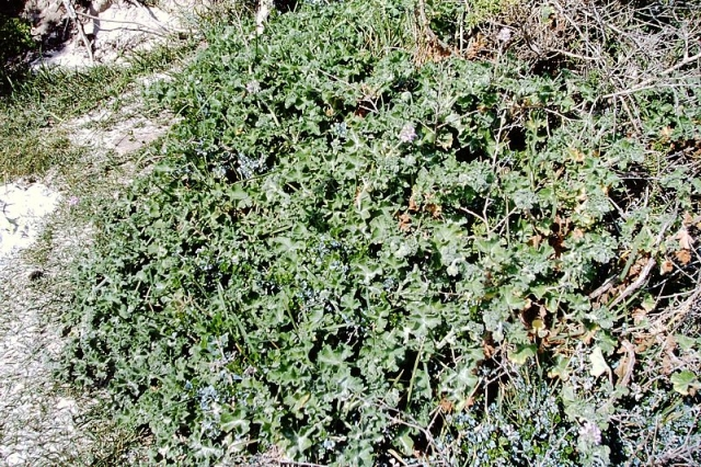 Pelargonium capitatum 3, Llandudno. Credit: Matija Strlic.