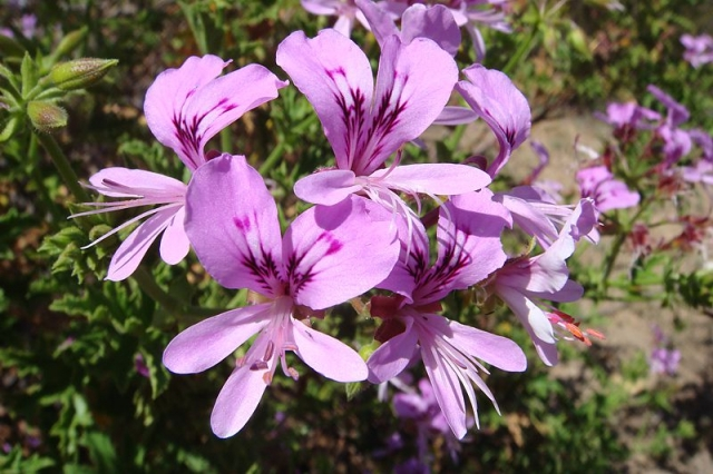 Pelargonium citronellum 1, Ladismith. Credit: Jan Movitz.