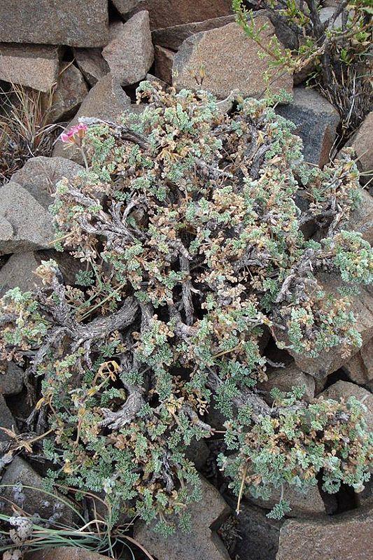 Pelargonium griseum 3. Credit: Judd Kirkel Welwitsch.