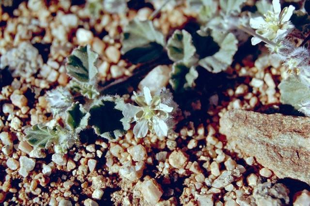 Monsonia drudeana 1, Aus, Namibia. Credit Matija Strlic.