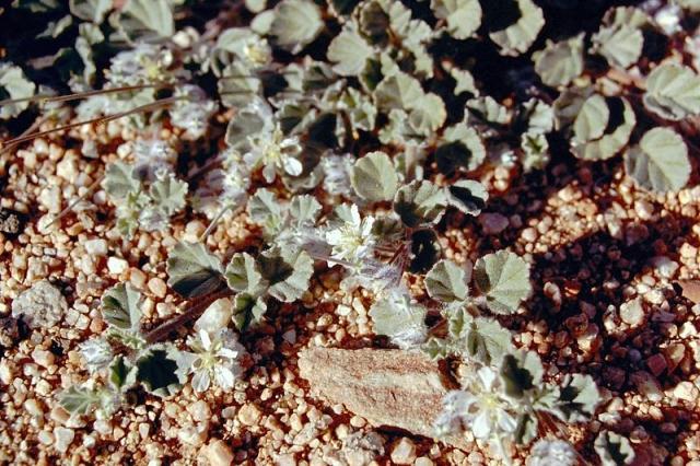 Monsonia drudeana 2, Aus, Namibia. Credit Matija Strlic.