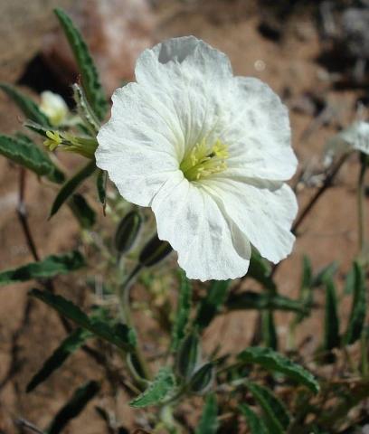 Monsonia glauca 1, Upington. Credit Judd Kirkel Welwitsch.