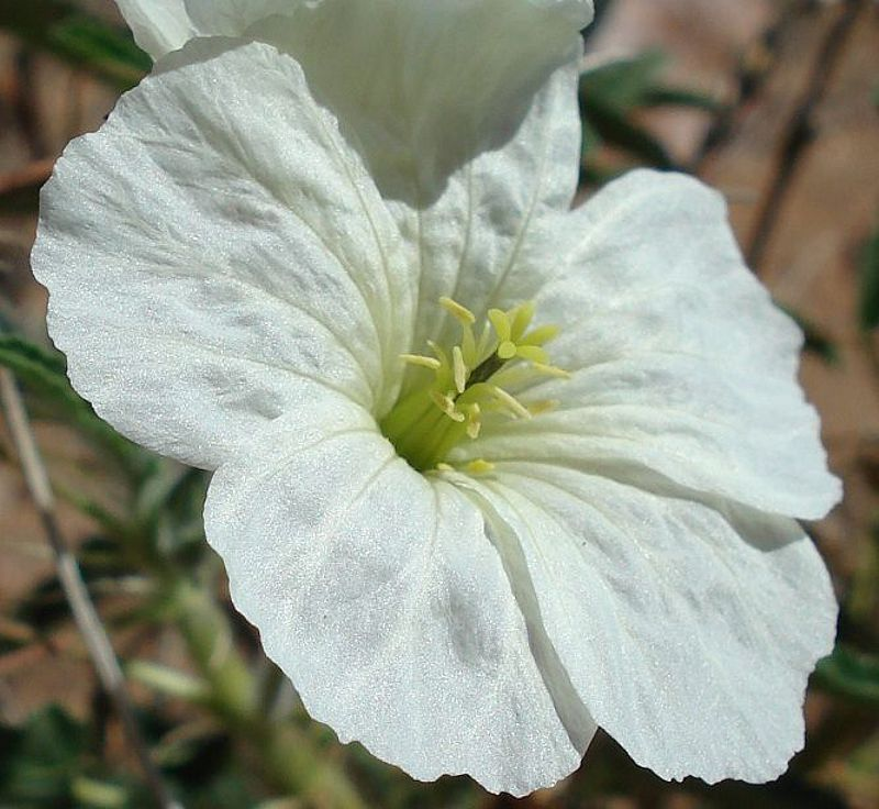Monsonia glauca 4, Upington. Credit Judd Kirkel Welwitsch.
