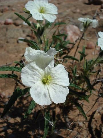 Monsonia glauca 5, Upington. Credit Judd Kirkel Welwitsch.