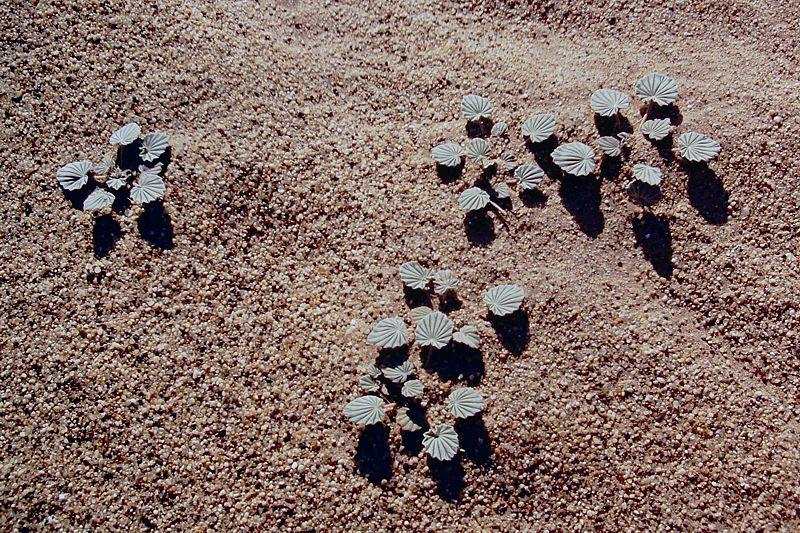 Monsonia ignorata, Kolmanskop, Namibia. Credit Matija Strlic.