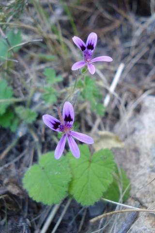 Pelargonium iocastum 1, Tulbagh. Credit: Judd Kirkel Welwitsch.