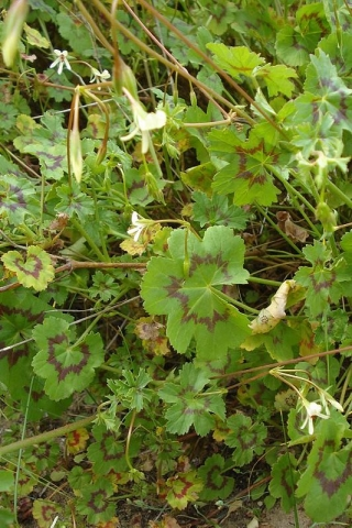 Pelargonium elongatum 1. Credit Judd Kirkel Welwitsch.