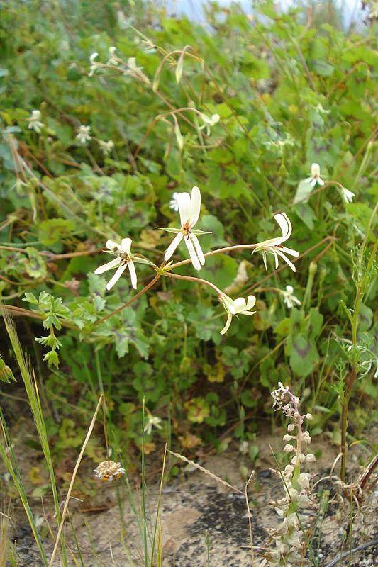 Pelargonium elongatum 3. Credit Judd Kirkel Welwitsch.