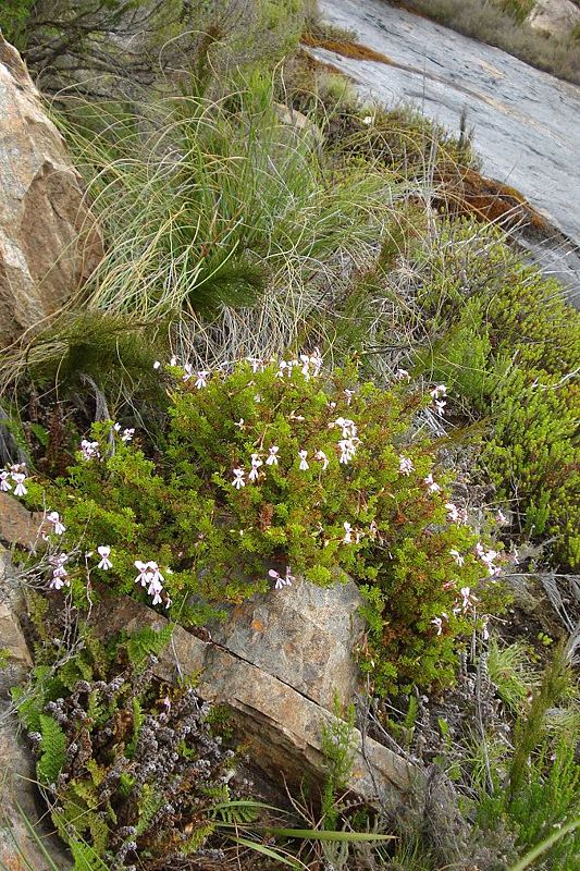 Pelargonium fruticosum 2, Swartberg Mountains. Credit: Judd Kirkel Welwitsch.